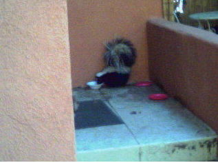 Skunk eating pet food. We live trap in Michigan!