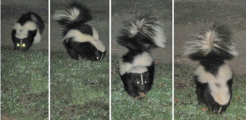 Skunk visiting at night
